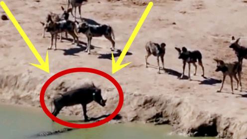 疣猪心知横竖是死,直接退至水边,下秒让人难以置信!