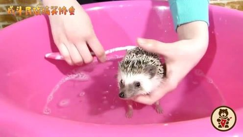 第一次看见给刺猬洗澡的,小家伙一点都不老实