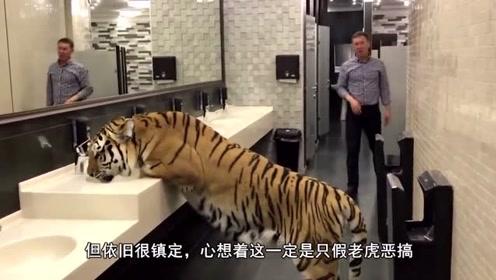 男子厕所看到老虎后,以为是恶搞,正当他从老虎身下爬过时老虎却回了头