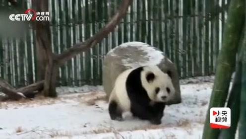 黑龙江亚布力降初雪 熊猫:就让我在雪地里撒个欢