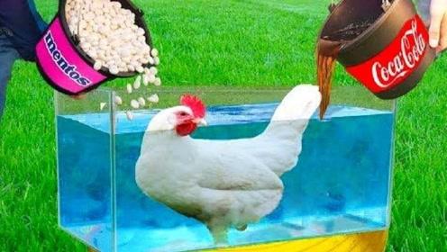 可乐曼妥思实验加强版,放只鸡进去会如何,隔着屏幕都酸爽