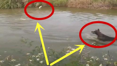 """狗子纵身跳入池塘追鱼,不料竟被小鱼""""戏虐"""",不是拍下谁信!"""