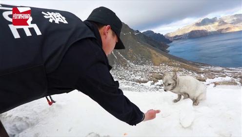 """首次!长白山天池边现""""雪山飞狐"""",觅食不怕人"""