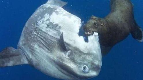 被蠢死的鱼,受尽其他动物欺辱,然而打死都不会灭绝