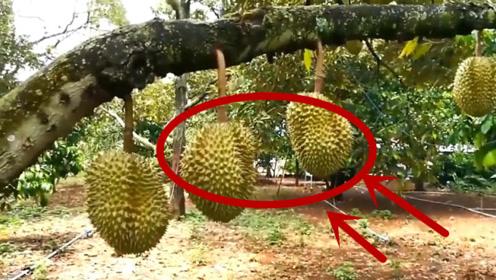 一颗榴莲树挂的都是果子,为什么榴莲还这么贵?