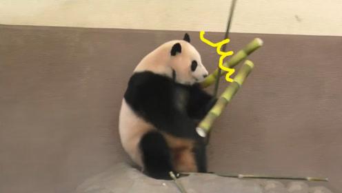 大竹笋倒下砸中大熊猫,整只熊都蹦了起来,这反应也太Q弹了
