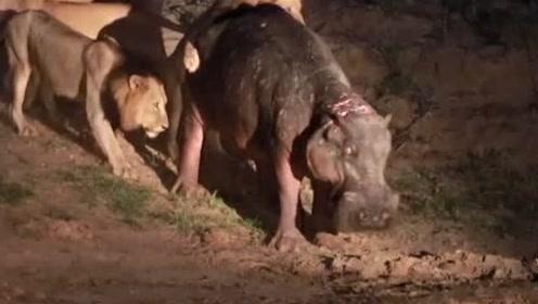狮子觅食发现一对河马,刚准备攻击,就被小河马的愤怒吓跑了