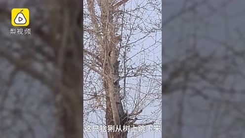 猞猁闯村民家爬上4米高树,家犬狂吠遭死亡凝视
