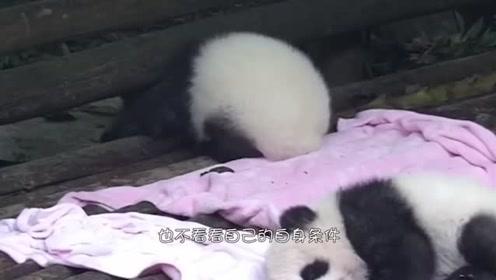 熊团子又把头给卡住了,急的它大喊大叫,奶爸来救援时差点没笑出猪叫声