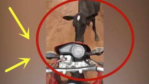 男子骑摩托作死,不幸惹怒大黑牛!教训来了!