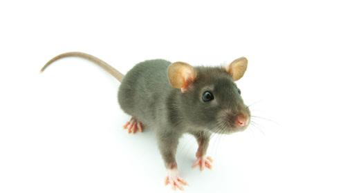 一只老鼠顶100人,保护上万人安全,被当地人称为大英雄!