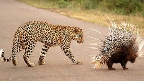 豹子对豪猪穷追不舍,终于忍不住咬了一口,结果豹子悲剧了