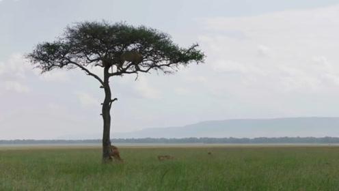 雄狮爬到树顶上耍帅,最后才发现下不来,狮子:快报警救我