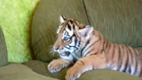 和狗狗一起玩耍的小老虎,这一对太可爱了