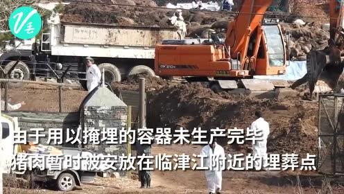 """韩国为止猪瘟宰杀近5万头猪 大雨过后猪血""""染红""""临津江"""