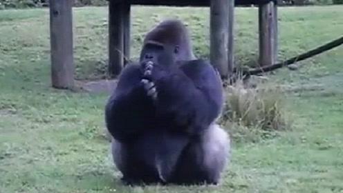 聪明的大猩猩用手语告诉游客,自己不能被喂食,镜头拍下全过程