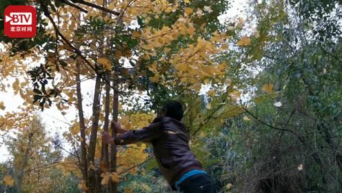 两男子为拍照狂摇猛踹银杏树 管理人员称文明人根本不会这么做