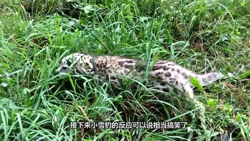 雪豹宝宝被抓住后颈,瞬间自闭成球体:我可能已经豹废了!