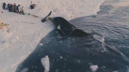 10米长大鲸鱼,在岸边被分割成条,场面太壮观了