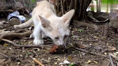 一只瘦瘦的流浪猫,看到有肉就叼到一边吃