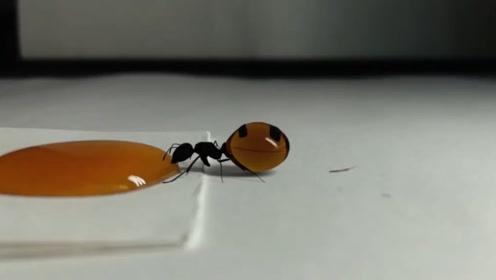 蚂蚁有多爱吃甜食?在它面前滴一滴蜂蜜,真怕它原地自爆