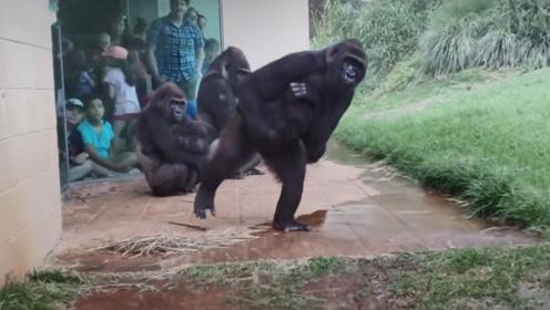 猩猩在观察雨情,接下来让网友笑喷了:这不就是没带伞的我吗