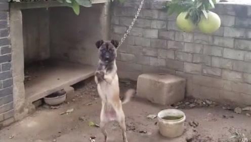 邻居家小院的柚子太诱人,想去摘一个,却见狗狗不断给我比划着什么!