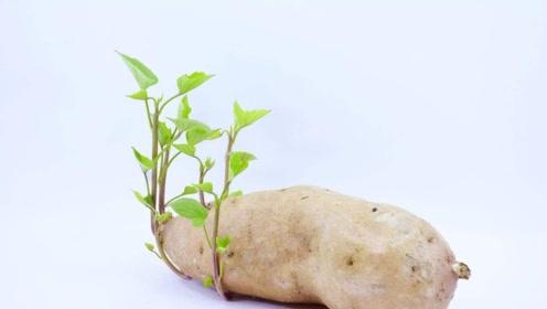 """红薯发芽到底能不能吃?医生:2种""""发芽""""食物营养不少,别扔了"""