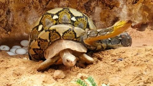 龟蛇相争,乌龟缩进壳内,却想不到毒蛇擅闯民宅!