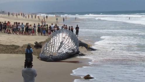 鲸鱼拼命往岸上游,事后专家现场解剖,在场的人脸都青了!