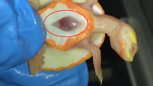 世界上最罕见的白化乌龟,心脏暴露在体外,活下来就是奇迹
