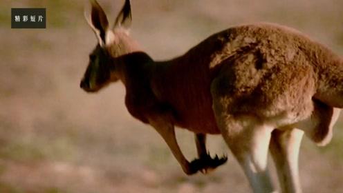成年袋鼠1步可跳7米远!这样蹦跶居然还是节能模式!