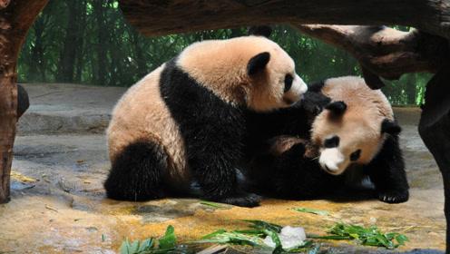 日本人吐槽 为啥中国的大熊猫没有日本的干净
