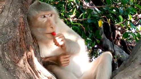 主人给宠物吃辣椒,宠物被辣的双眼迷蒙,连猴子都没逃过