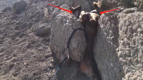 一匹马在下坡的时候,直接被卡在了石缝中,最后被好心人救下