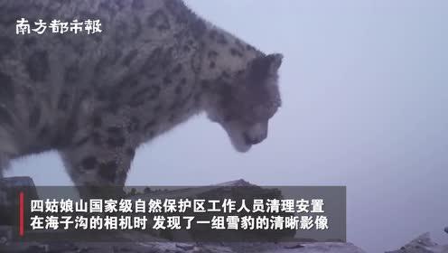 四姑娘山首次记录野生雪豹清晰影像!工作人员:非常适合雪豹生活