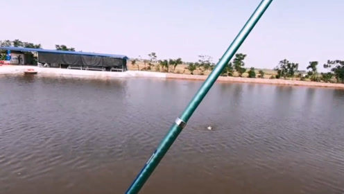 鱼塘边钓竿浮漂瞬间被拉下水,男子使劲一拉钓竿,这样就收获一条大鲤鱼
