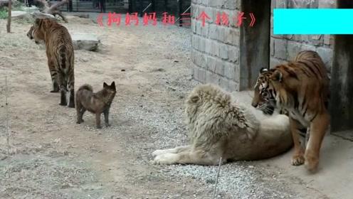 这只狮子怎么大肯定很凶吧?网友:这体格再大,不还是一只大猫吗?