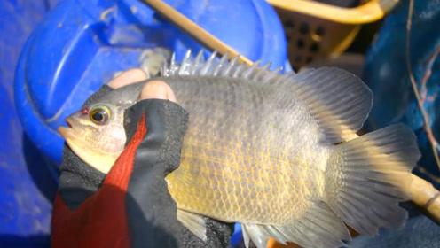 钓鱼:这是什么鱼?有点像罗非鱼