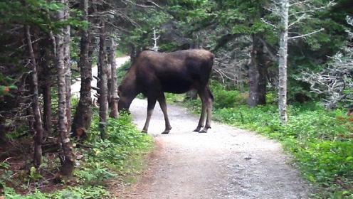 大兴安岭出现世上最大的鹿,温顺的食草动物,但怕的是小几倍的狼