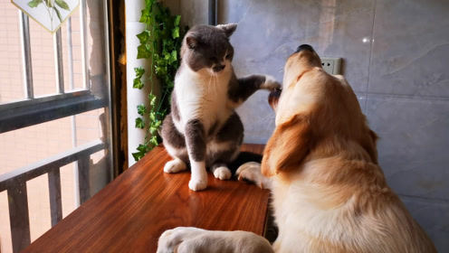 拉布拉多拆家,虐猫,再光速偷吃鞋子,全程被猫看见就不告诉主人