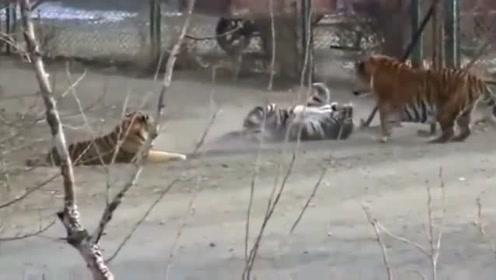 800斤巨型东北虎一出场,其他老虎被吓坏,网友:太霸气了!