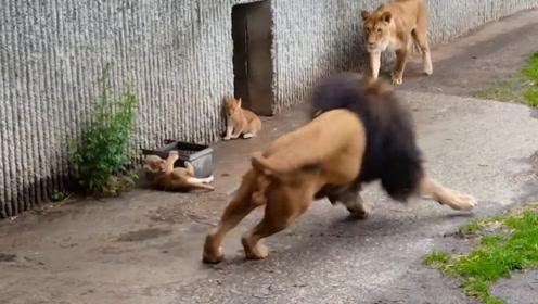 雄狮一巴掌打飞儿子,不料被雌狮目睹全过程,下一秒憋住别笑!