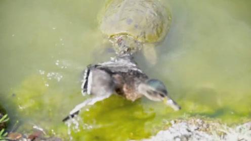 王八居然这么凶?王八在水里咬住一只鸭子,鸭子只能苦苦挣扎