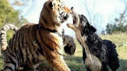比特犬大战老虎,结果被老虎一招降服,镜头记录全过程