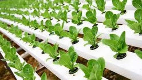 第一次见老外这样种植蔬菜,把菜苗放塑料管里,不需土壤都能活