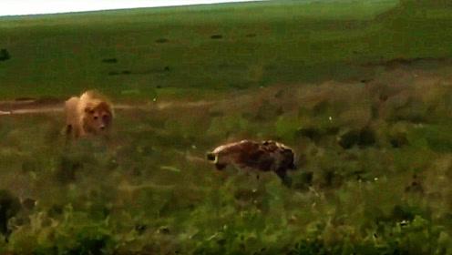 鬣狗闯进狮子领地,被雄狮发现后一口咬死,太霸气了!