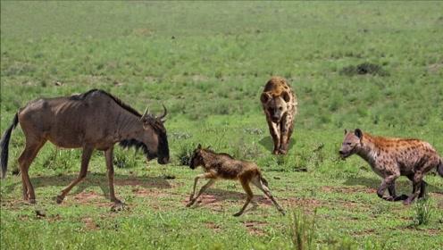 2只鬣狗饿了8天追杀1只小羚羊,不料羚羊妈一来直接腿软,空有盛名呀