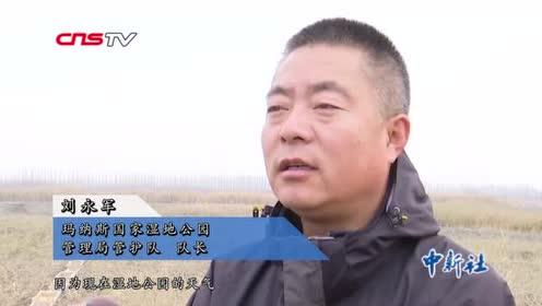 """新疆玛纳斯湿地管护队为越冬天鹅备50吨""""干粮"""""""
