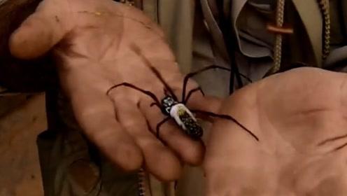 马岛金丝圆蛛是自然界纺织艺术的翘楚!雌蛛能织出直径近1.5米的网!